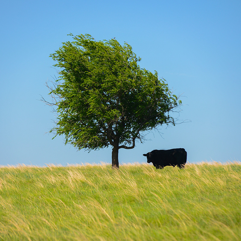 A bulls standing underneath a tree on a hill.