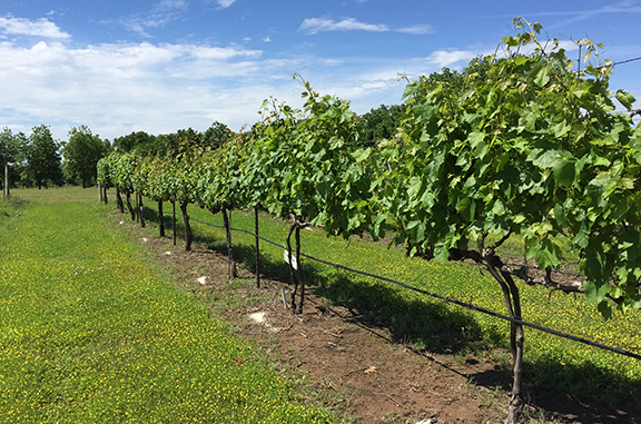 A row of grape plants.