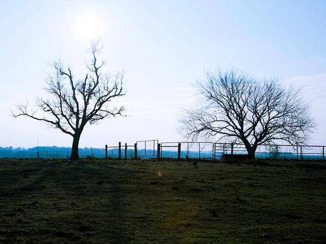 Two trees in a field in front of a fence.