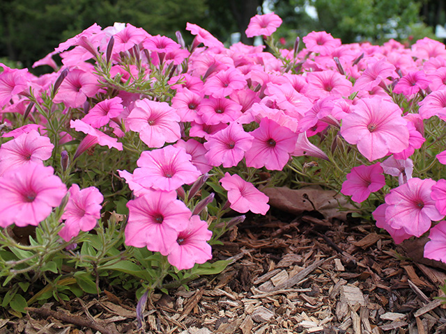 Pink petunias blooming in a flower bed.