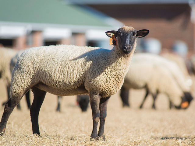 A sheep standing in a pasture with the herd behind it.